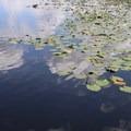 Turkey Lake is full of aquatic vegetation.- Bill Frederick Park + Campground at Turkey Lake