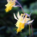 Yellow columbine (Aquilegia flavescens) along the trail.- Echo Lake and Traverse Lake