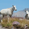 Mountain goats love to hang out at Gunsight Pass.- Gunsight Pass Trail