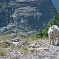 A goat shedding its winter coat.- Gunsight Pass Trail