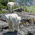 The goats seem curious about people in their territory.- Gunsight Pass Trail