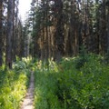 The first section of trail passes through dense forest and berry patches. Be bear aware!- Gunsight Pass Trail