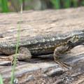 A lizard basking in the sun along the Big Rock Trail.- Cowles Mountain via Big Rock Trail