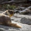 A marmot.- Lakes Trail