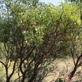Manzanita grow along the Eight Dollar Mountain Boardwalk.- Eight Dollar Mountain Interpretive Boardwalk