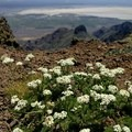 Yarrow grows near the summit of Steens Mountain.- Steens Mountain Summit Trail