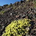 Buckwheat grows profusely at Steens Mountain.- Steens Mountain Summit Trail