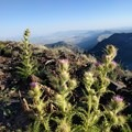 Steens thistle at the top of Steens Mountain.- Steens Mountain Summit Trail