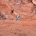 A black widow spider shows her mark as she prepares her prey.- Canyon Rim Trail