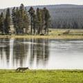 Coyote hunting in Hayden Valley.- Hayden Valley