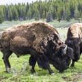 Bison sparring along the road.- Hayden Valley