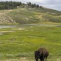 A lone bison grazing in Hayden Valley.- Hayden Valley