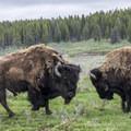 Bison near the road.- Hayden Valley