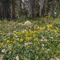 Many flowers along the paved path back to the Mirror Lakes Trailhead.- Medicine Bow Peak Loop