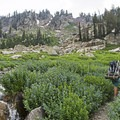 Huge concentrations of bluebell wildflowers in Cascade Canyon.- Lake Solitude via Cascade Canyon