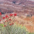 A species of Indian paintbrush.- Spectra Point Trail