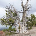 The mighty bristlecone pine, the oldest and largest in the park at 1,700 years old.- Spectra Point Trail
