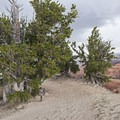 Bristlecone pine along the Spectra Point Trail.- Spectra Point Trail