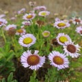 Wildflowers at Tolowa Dunes State Park.- Tolowa Dunes State Park