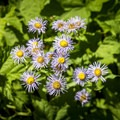 Wild asters along the trail.- Running Eagle Falls Hike