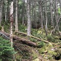 Mossy old-growth forest surrounds you as you churn through the dirt and trees.- Presidential Traverse