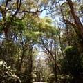 Large ʻōhiʻa trees line the drive into the park.- Kalōpā State Park and Recreation Area