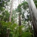 Eucalyptus trees within the park.- Kalōpā State Park and Recreation Area