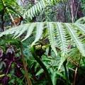 Fiddleheads.- Kalōpā State Park and Recreation Area