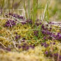 Wild thyme (thymus praecox) covers the low ground.- Valagil