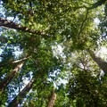 Kalōpā is known for its towering trees.- Kalōpā State Park and Recreation Area