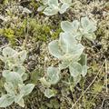 Some of the flora covering the landscape.- Neðri-Stafur and Seyðisfjörður