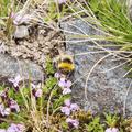A bee collecting pollen near the summit.- Súlur