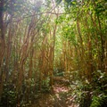 The trail meanders through dense strawberry guava stands.- Kalauao Gulch and Kalauao Falls