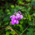 Unknown wildflower.- Waterloo Falls