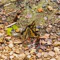 A cluster of tiger swallowtail butterflies.- Upper Waterloo Falls