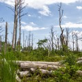 A view of the marshy forest.- Assateague Island National Seashore