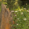Wildflower species on the trail to Patrol Cabin.- Death Canyon to Patrol Cabin