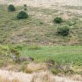 Tule elk alongside the Estero Trail in Point Reyes National Seashore.- Limantour Estero via Muddy Hollow