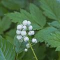 White berries.- Granite Canyon