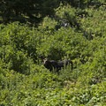 A good-sized moose peeks out along the way.- Granite Canyon
