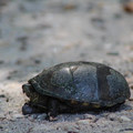 A turtle along the trail.- Caledon State Park