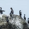 "Brandt's cormorants (Phalacrocorax penicillatus) on ""The Three Graces.""- Tillamook Bay: Garibaldi Marina to The Three Graces"
