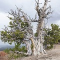 The oldest and largest Bristlecone Pine in the park at 1,700 years!- Cedar Breaks National Monument