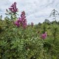 Douglas spirea (Spiraea douglasii) at Kilchis Point Preserve.- Kilchis Point Reserve