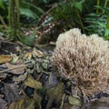 Coral fungus (Ramaria acrisiccescens) in Kilchis Point Preserve.- Kilchis Point Reserve
