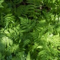 The trail back to the boat dock passes through a fern grotto.- No Name Lake Hike