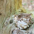 An old bird's nest in a tree.- Great Bay National Wildlife Refuge