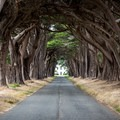 The Cypress Tree Tunnel in Point Reyes National Seashore.- Cypress Tree Tunnel