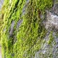Moss-covered boulders near Swan Slab, Yosemite National Park.- Swan Slab