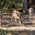 Local wildlife near Swan Slab, Yosemite National Park.- Swan Slab